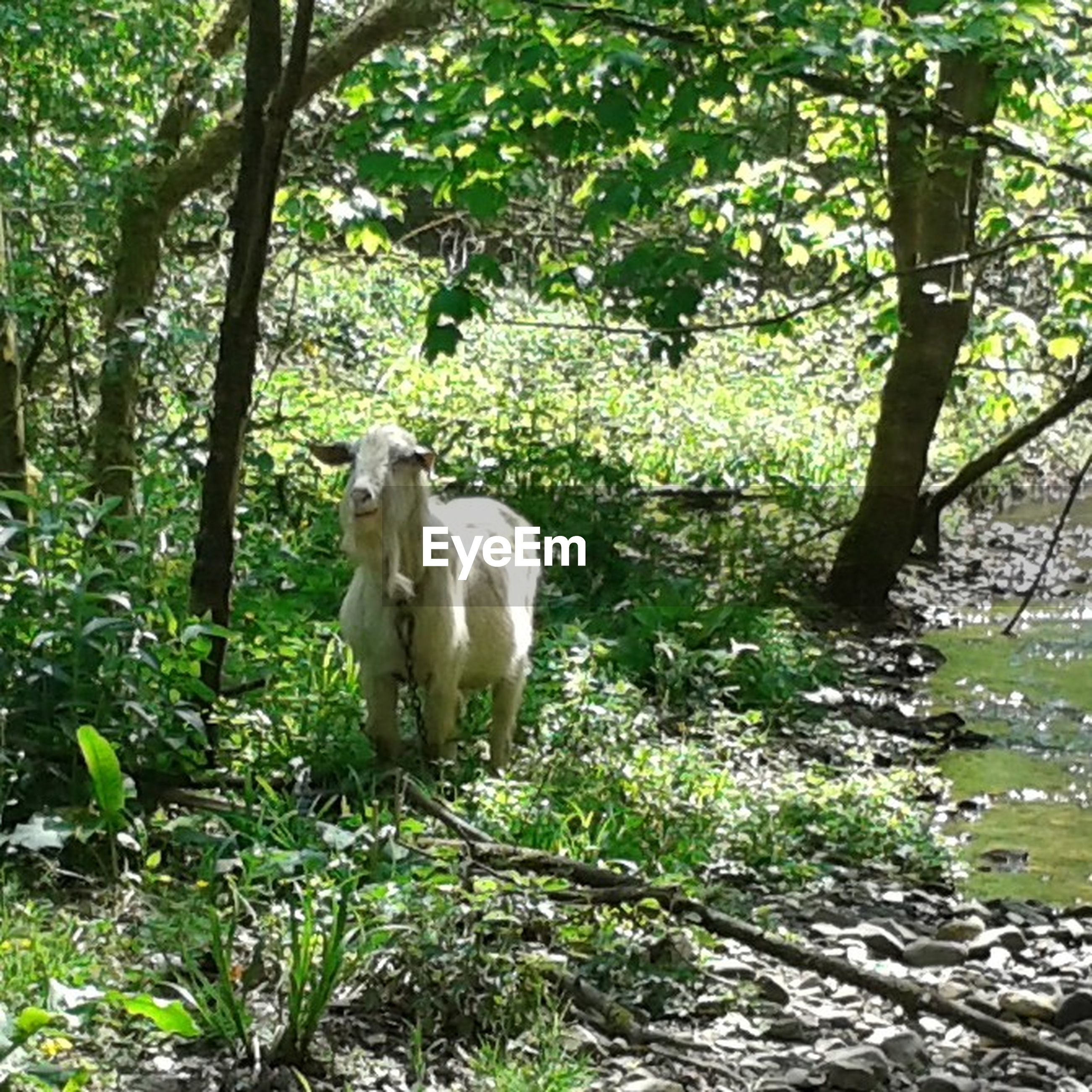 animal themes, tree, mammal, forest, domestic animals, growth, nature, livestock, green color, wildlife, herbivorous, two animals, standing, field, animals in the wild, full length, plant, day, outdoors, beauty in nature