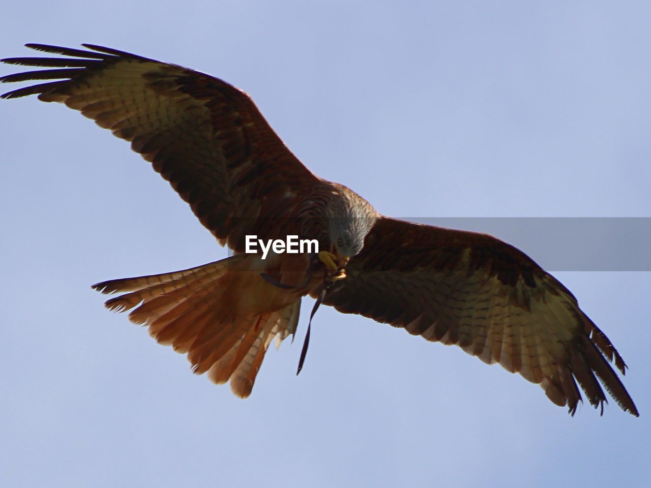 Low Angle View Of Red Kite Bird Flying Against Clear Sky