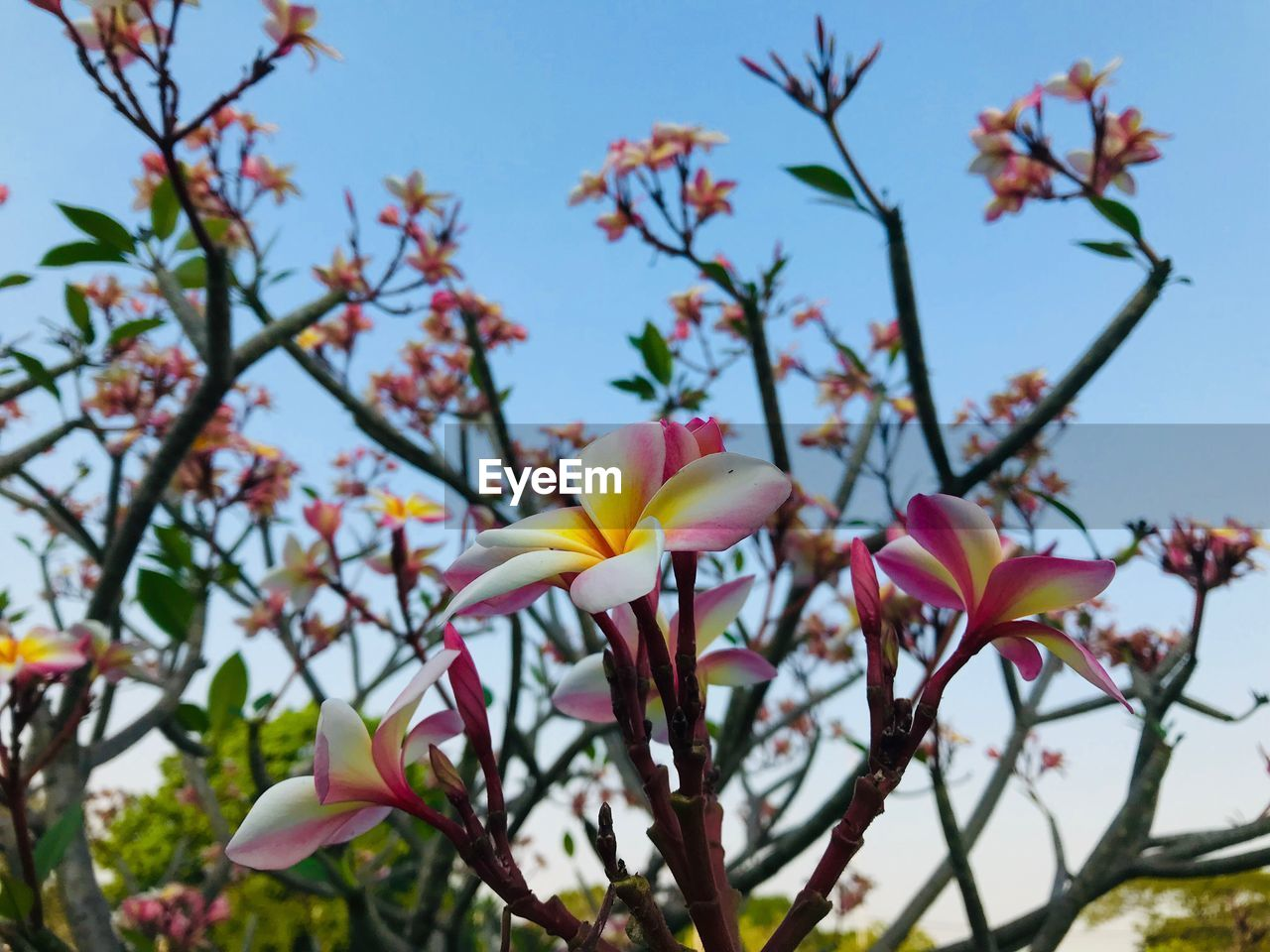flowering plant, plant, flower, vulnerability, petal, fragility, growth, freshness, beauty in nature, close-up, sky, focus on foreground, inflorescence, flower head, nature, day, pink color, no people, branch, tree, springtime, outdoors