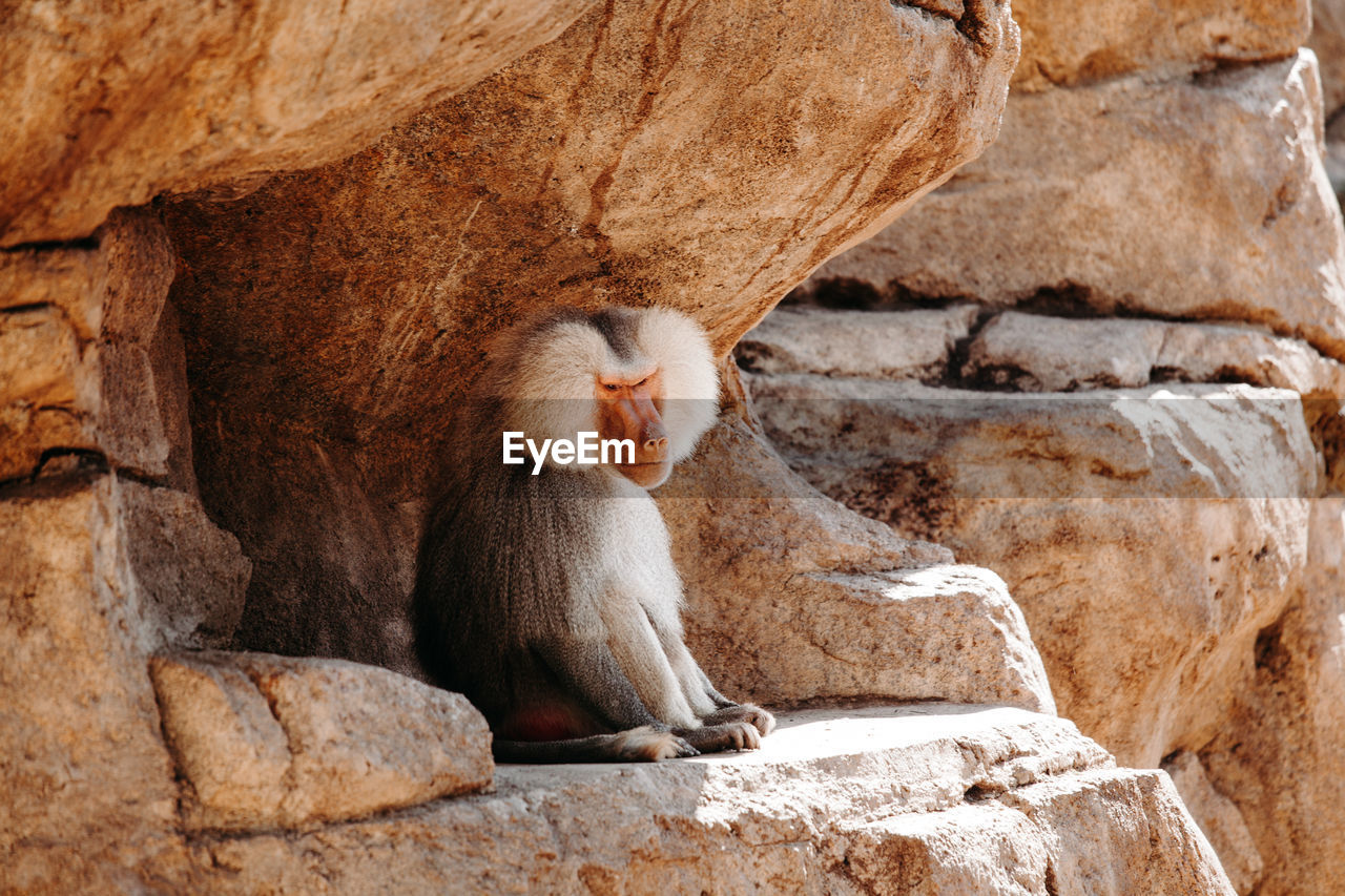 Large baboon resting in the cave