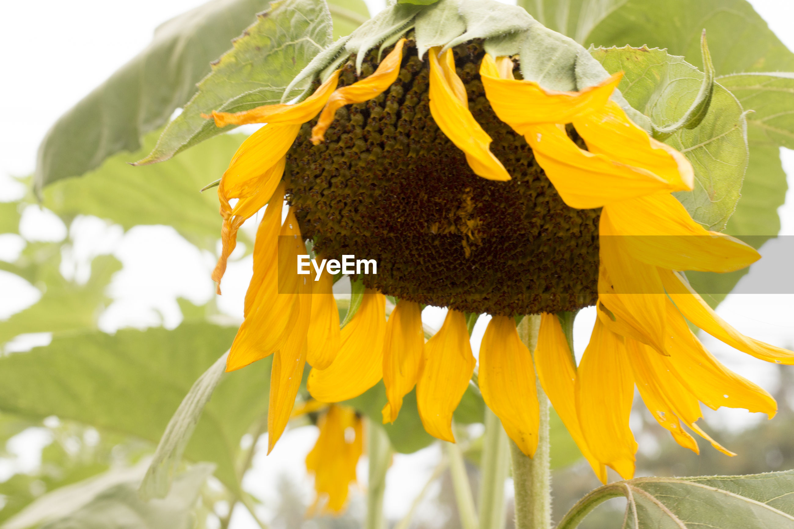 Close-up of wilted sunflower on field