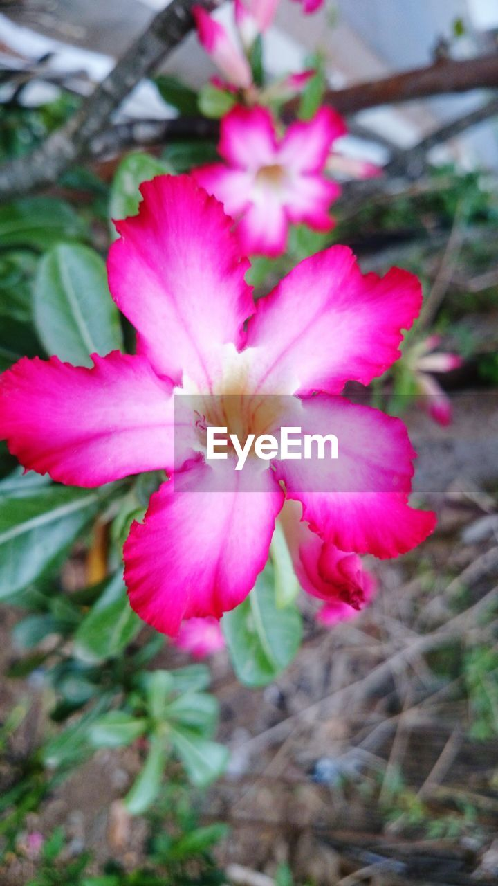 flower, petal, pink color, fragility, beauty in nature, flower head, nature, growth, freshness, no people, plant, day, outdoors, close-up, blooming