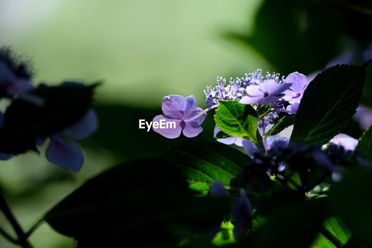 flowering plant, flower, freshness, plant, beauty in nature, vulnerability, growth, fragility, petal, close-up, purple, selective focus, plant part, inflorescence, leaf, flower head, nature, no people, day, outdoors