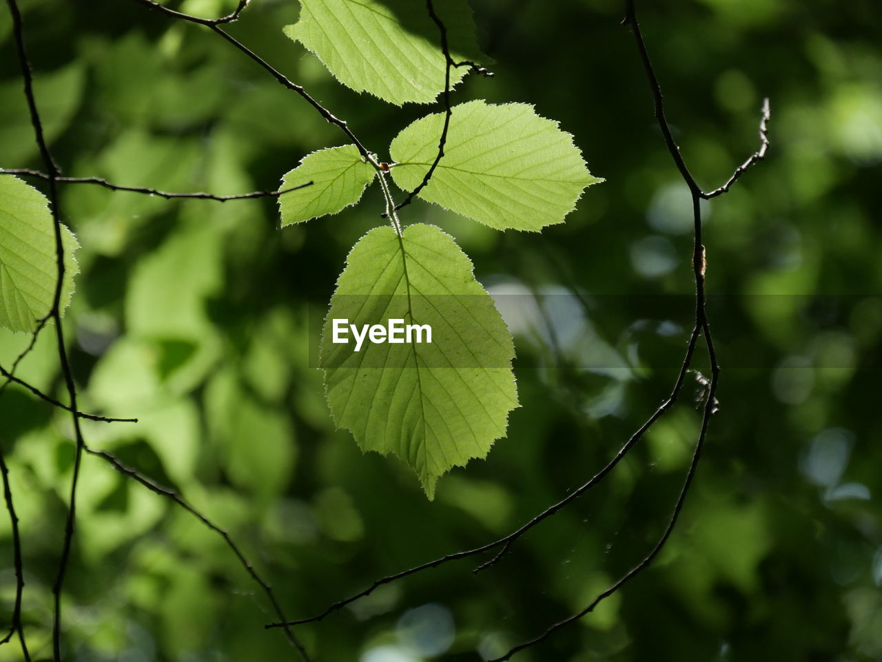 plant, leaf, growth, plant part, green color, focus on foreground, beauty in nature, nature, close-up, day, tree, no people, outdoors, leaf vein, tranquility, branch, freshness, twig, selective focus, leaves