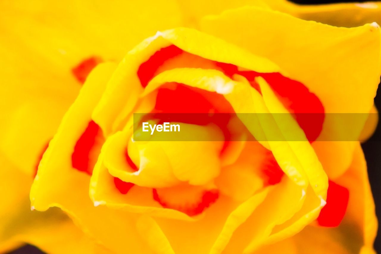 flower, petal, beauty in nature, nature, yellow, fragility, flower head, freshness, close-up, blooming, growth, no people, backgrounds, rose - flower, plant, full frame, outdoors, day