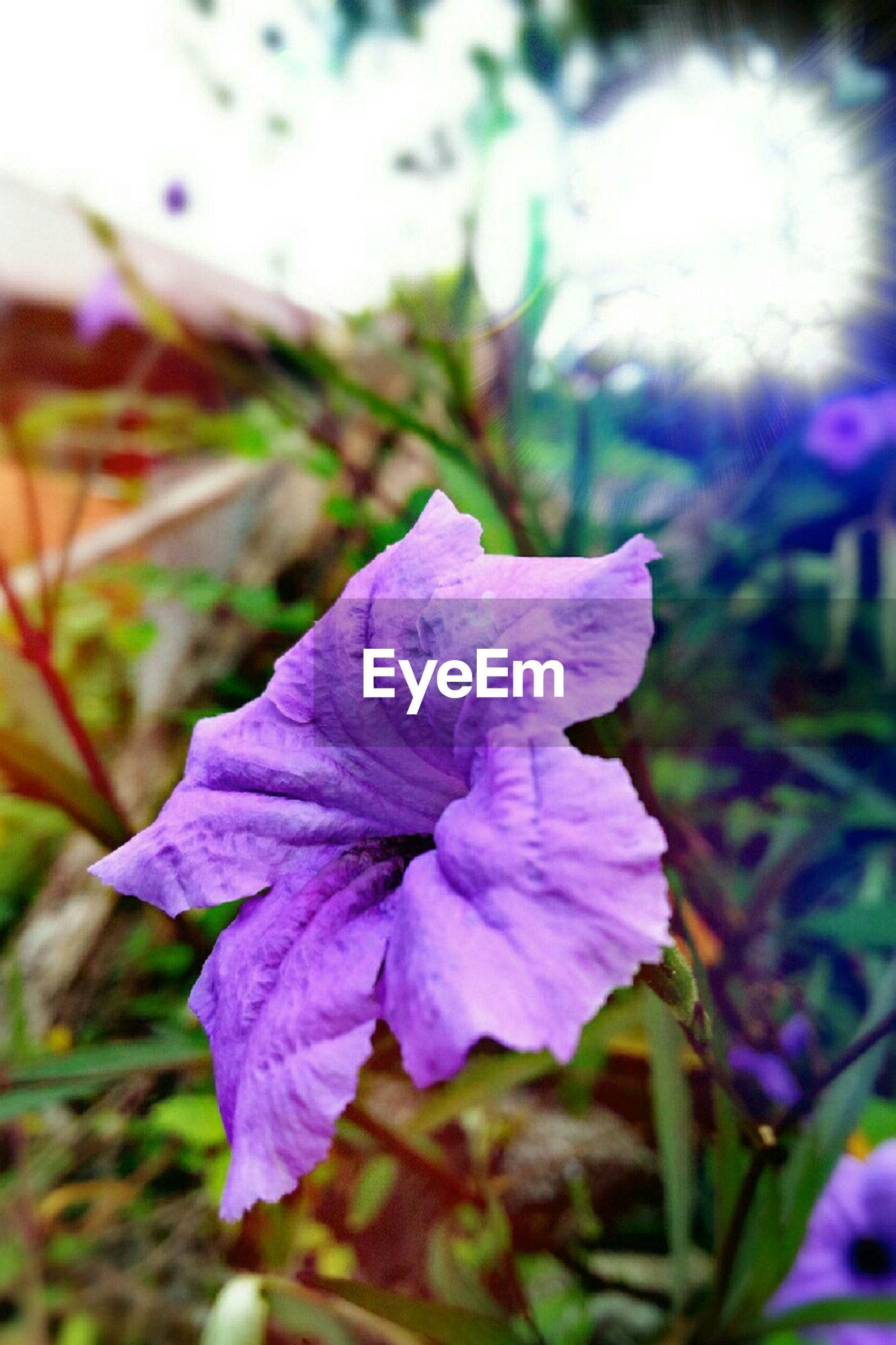 flower, petal, freshness, flower head, fragility, purple, growth, beauty in nature, close-up, focus on foreground, blooming, plant, nature, in bloom, blossom, day, stem, selective focus, outdoors, no people, botany, blue, pollen, stamen, pink color, tranquility, softness