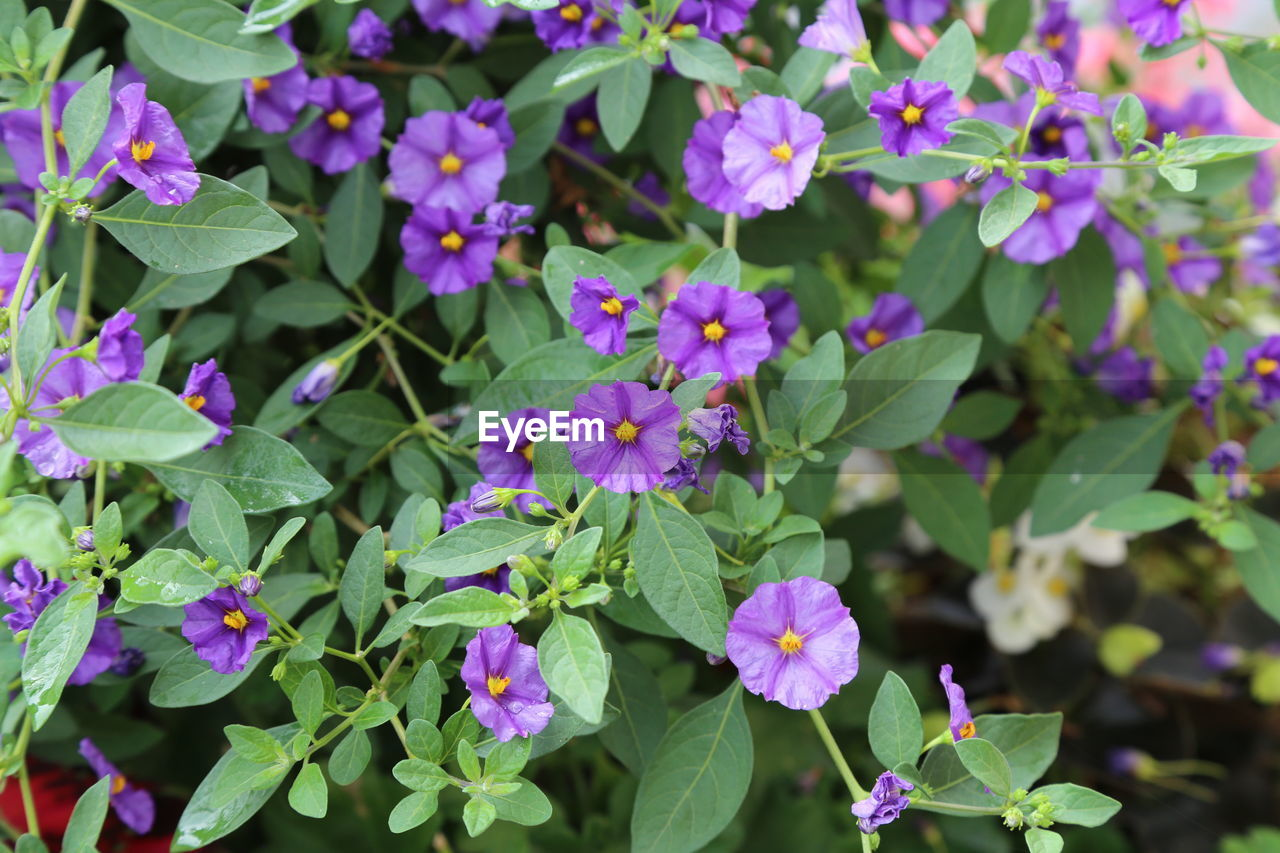 flowering plant, plant, flower, growth, beauty in nature, leaf, plant part, vulnerability, fragility, freshness, petal, green color, close-up, day, nature, flower head, inflorescence, no people, high angle view, outdoors, purple, lantana, bunch of flowers