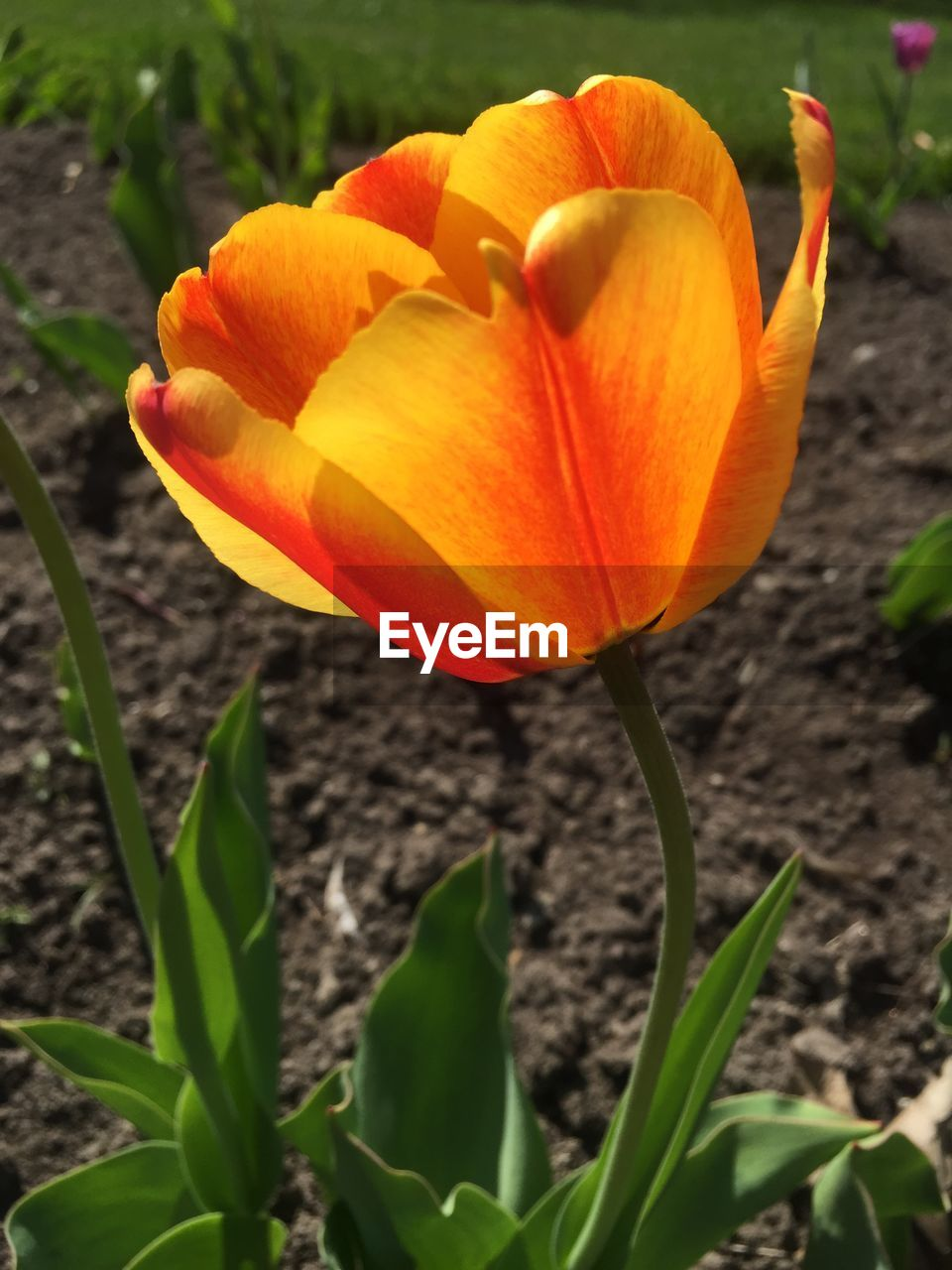 flower, petal, beauty in nature, flower head, fragility, nature, freshness, growth, orange color, plant, blooming, outdoors, day, close-up, no people, leaf, day lily, crocus