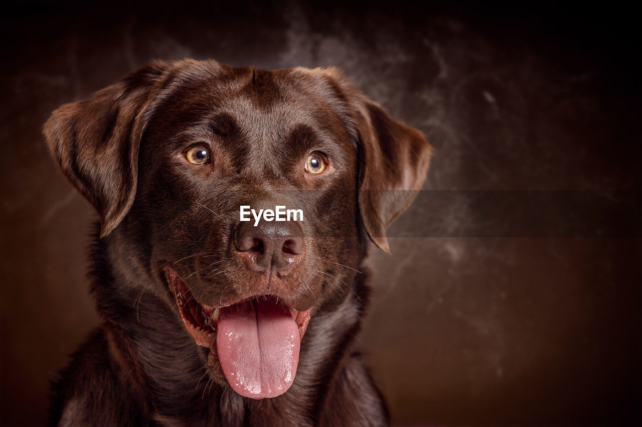 Close-up of dog against brown background