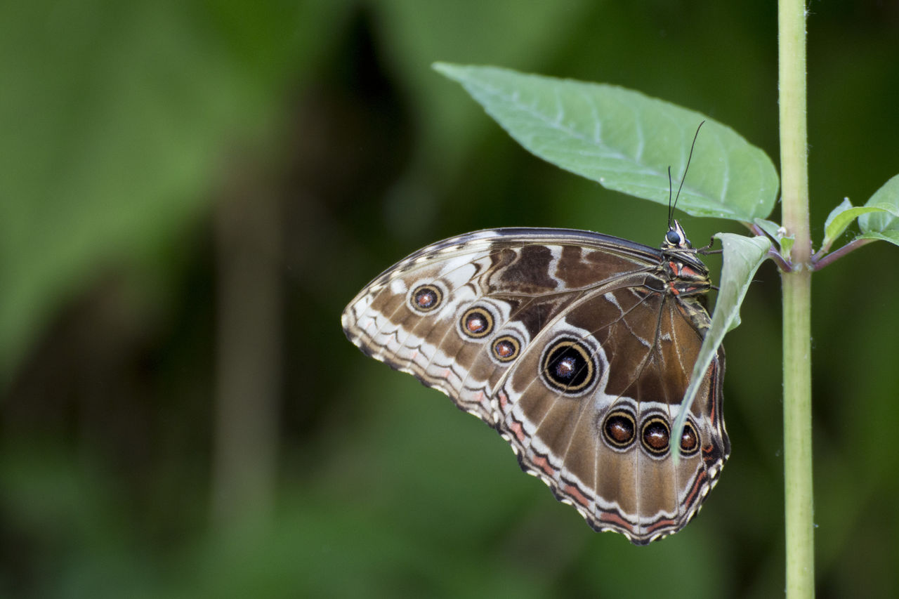 one animal, animals in the wild, animal themes, animal wildlife, focus on foreground, butterfly - insect, insect, close-up, leaf, nature, outdoors, day, green color, no people, butterfly, plant, beauty in nature, fragility, full length, freshness