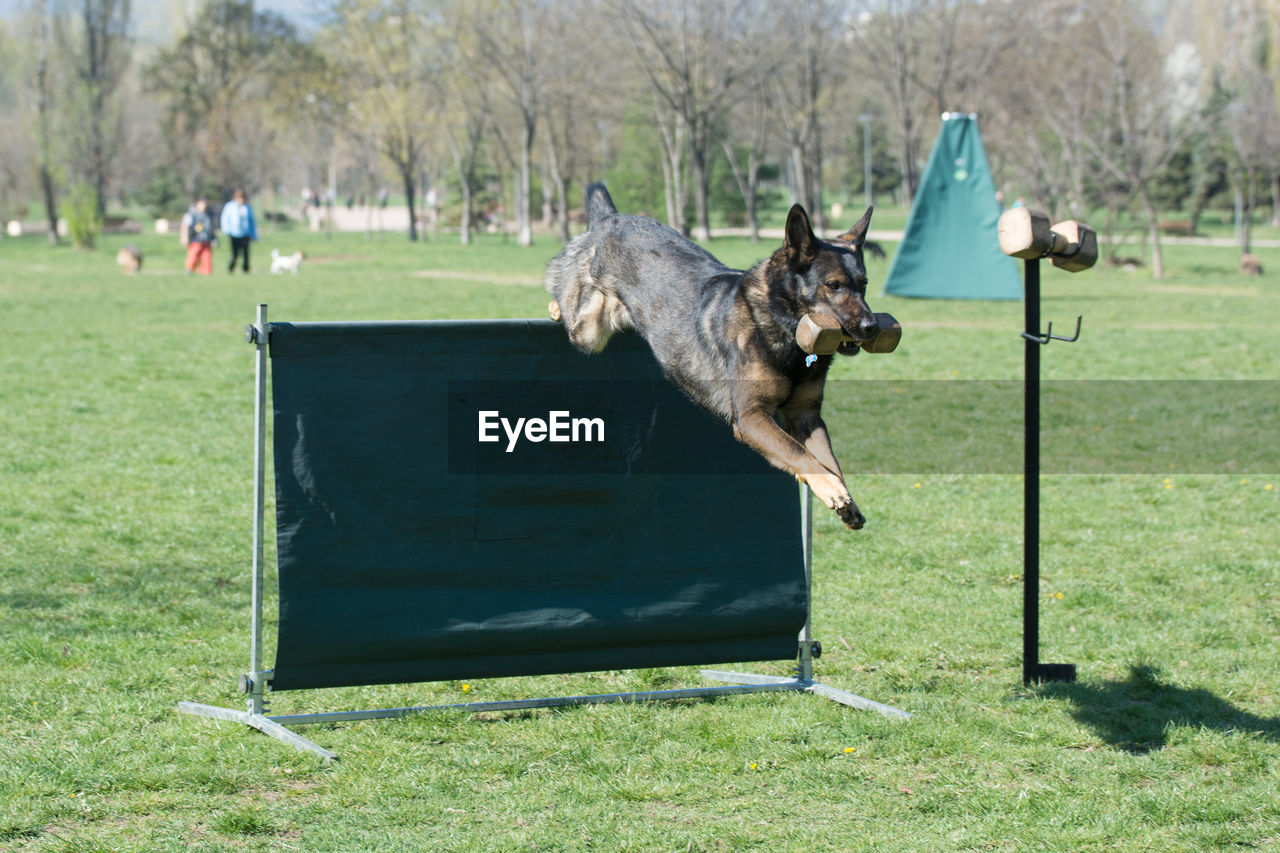 one animal, mammal, animal, animal themes, pets, domestic, domestic animals, canine, dog, grass, vertebrate, plant, day, nature, running, motion, playing, land, field, mid-air, outdoors, stick - plant part