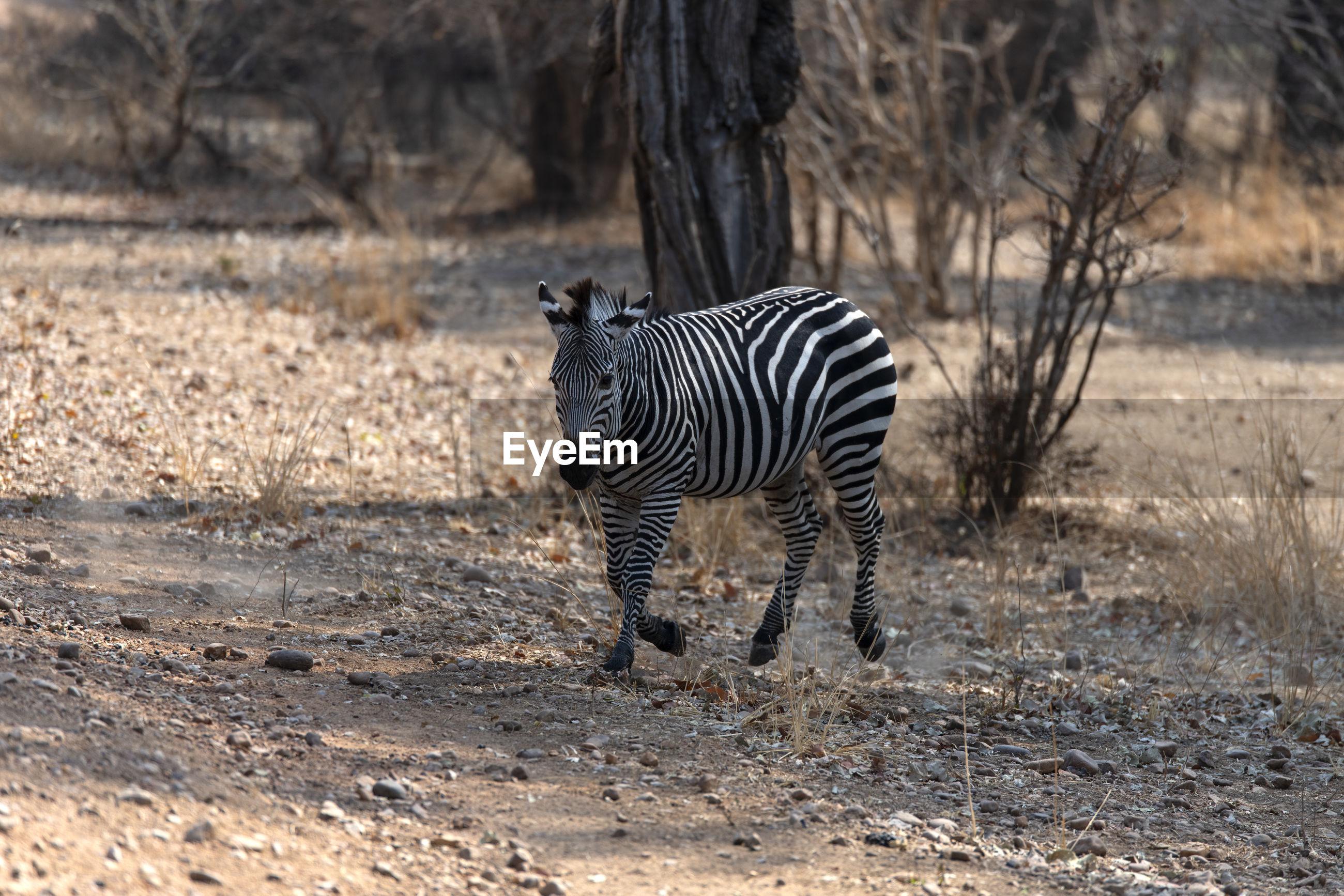 Zebras standing in a field