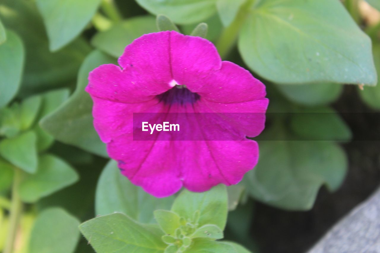 flower, fragility, petal, beauty in nature, plant, nature, growth, leaf, pink color, green color, freshness, flower head, day, close-up, outdoors, no people, blooming, petunia, periwinkle