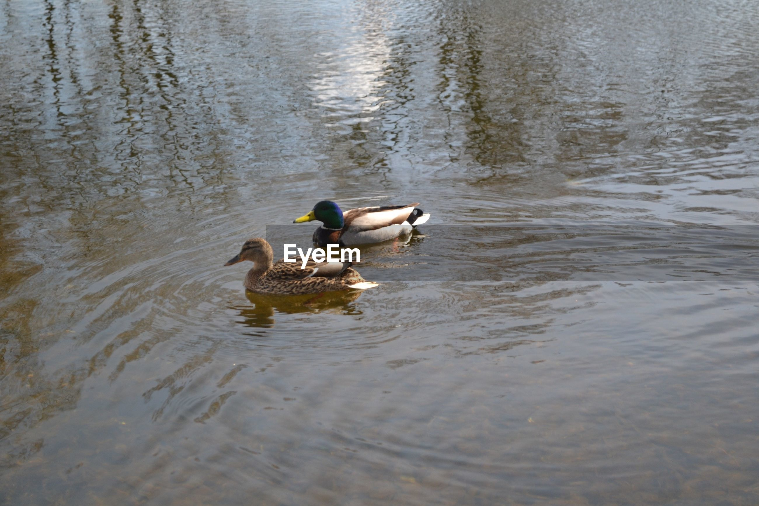 VIEW OF MALLARD DUCKS SWIMMING IN LAKE