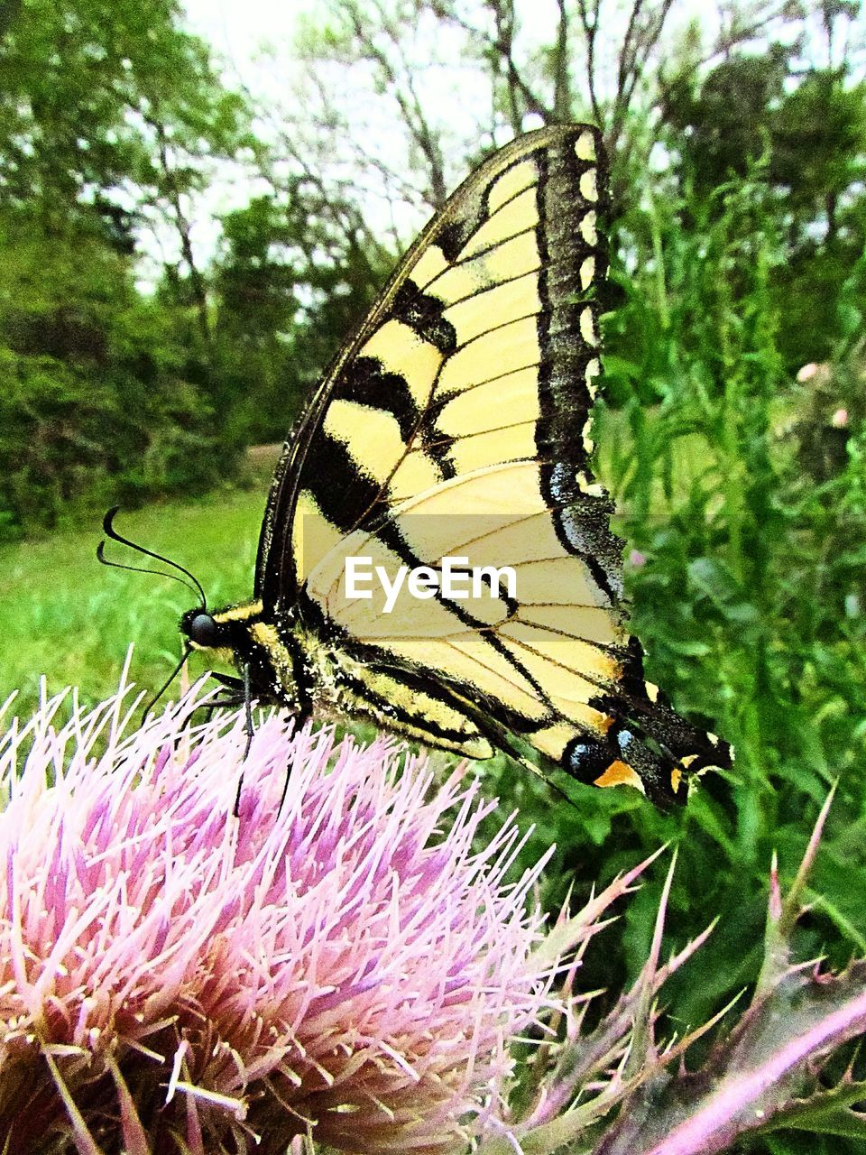 animal themes, animal wildlife, animal, invertebrate, insect, one animal, animals in the wild, beauty in nature, plant, flower, close-up, animal wing, butterfly - insect, nature, flowering plant, no people, fragility, vulnerability, focus on foreground, animal markings, outdoors, flower head, pollination, butterfly, purple