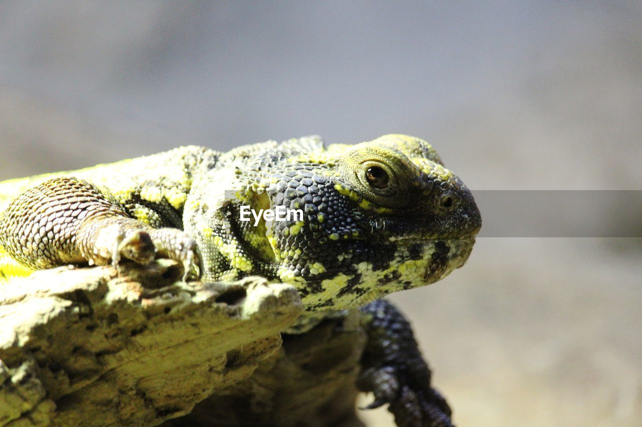 animal themes, animal, animal wildlife, animals in the wild, one animal, vertebrate, reptile, lizard, close-up, animal body part, no people, focus on foreground, nature, day, animal head, selective focus, looking away, outdoors, looking, sunlight, animal eye, iguana, animal scale, marine