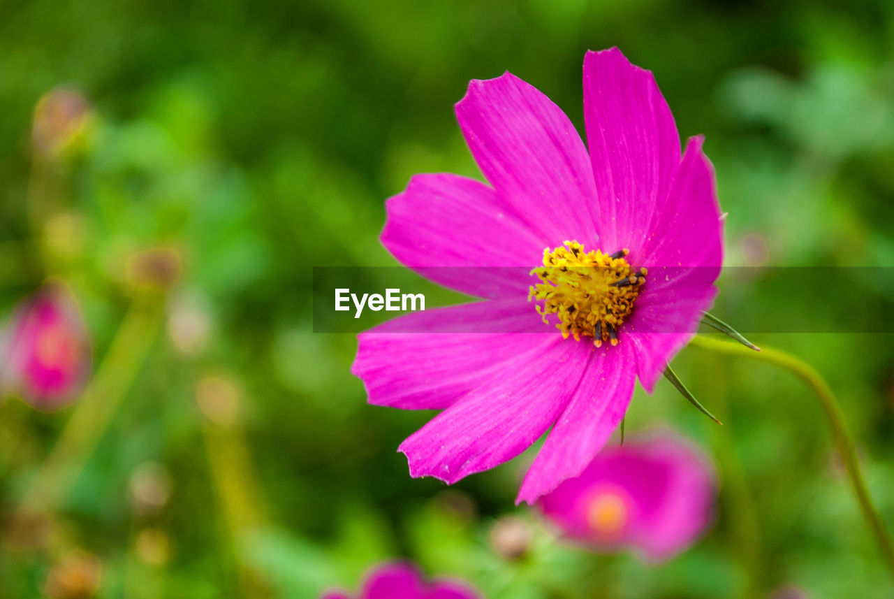 flower, flowering plant, fragility, vulnerability, plant, freshness, petal, beauty in nature, flower head, growth, inflorescence, close-up, pollen, pink color, cosmos flower, no people, nature, focus on foreground, day, purple