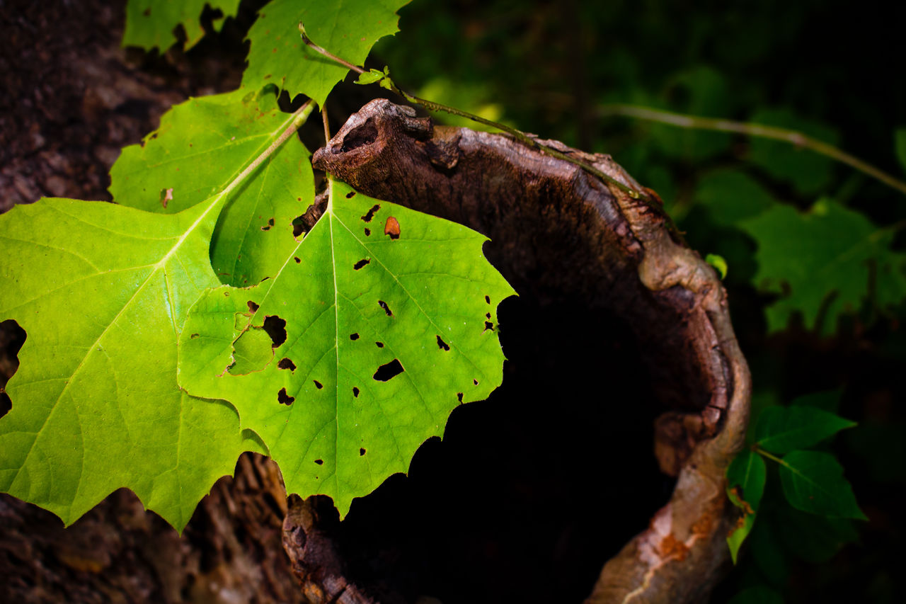 leaf, plant part, green color, plant, nature, close-up, no people, focus on foreground, growth, animal, animal themes, animals in the wild, one animal, animal wildlife, day, outdoors, beauty in nature, tree, insect, invertebrate