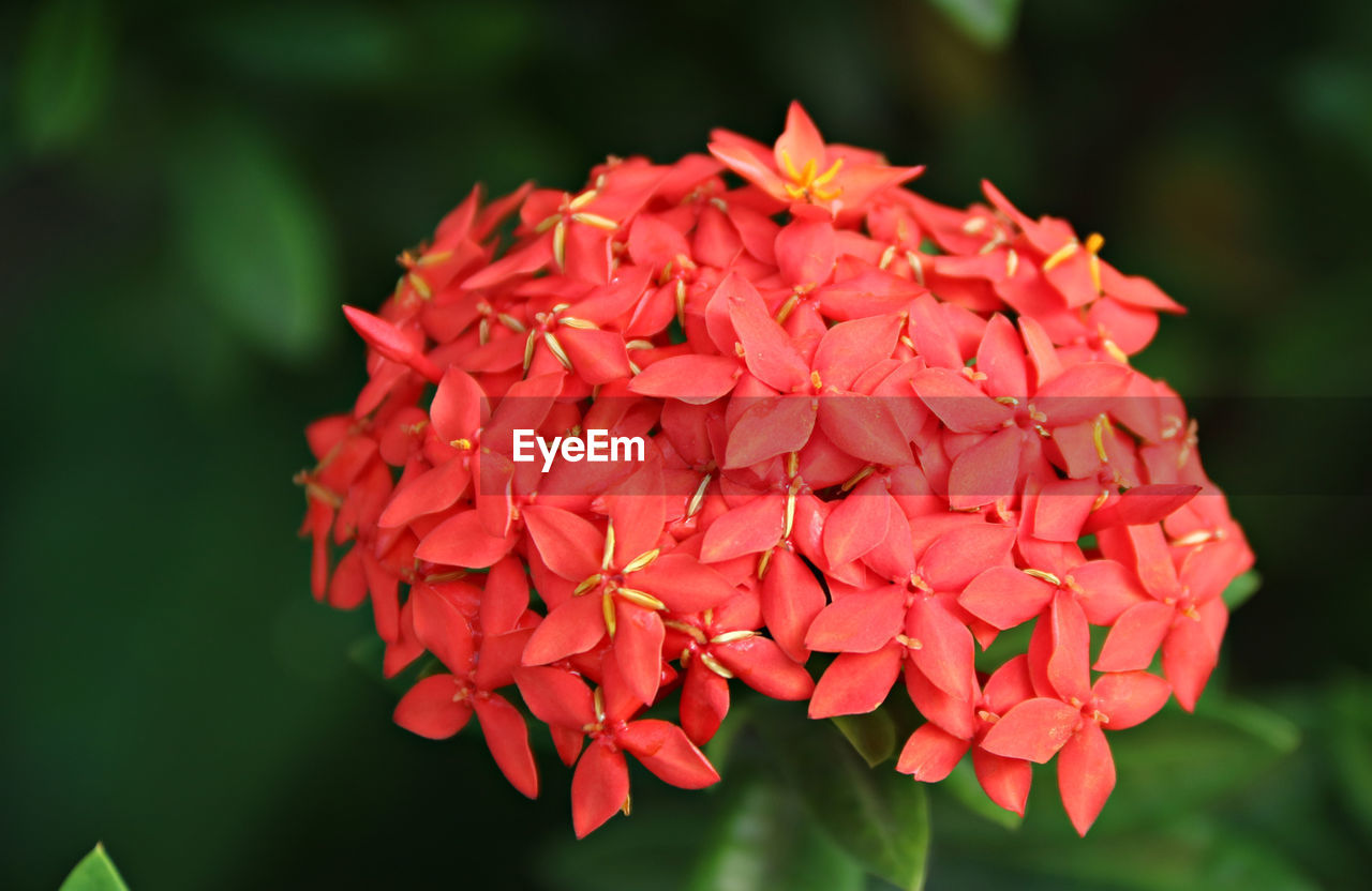 petal, beauty in nature, flower, growth, ixora, red, nature, focus on foreground, fragility, freshness, day, flower head, outdoors, blooming, close-up, no people