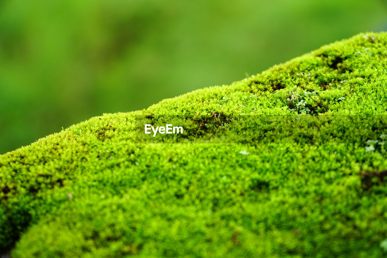 green color, plant, selective focus, moss, growth, close-up, no people, beauty in nature, nature, day, land, outdoors, foliage, tranquility, lush foliage, tree, plant part, covering, focus on foreground, leaf, rainforest, lichen