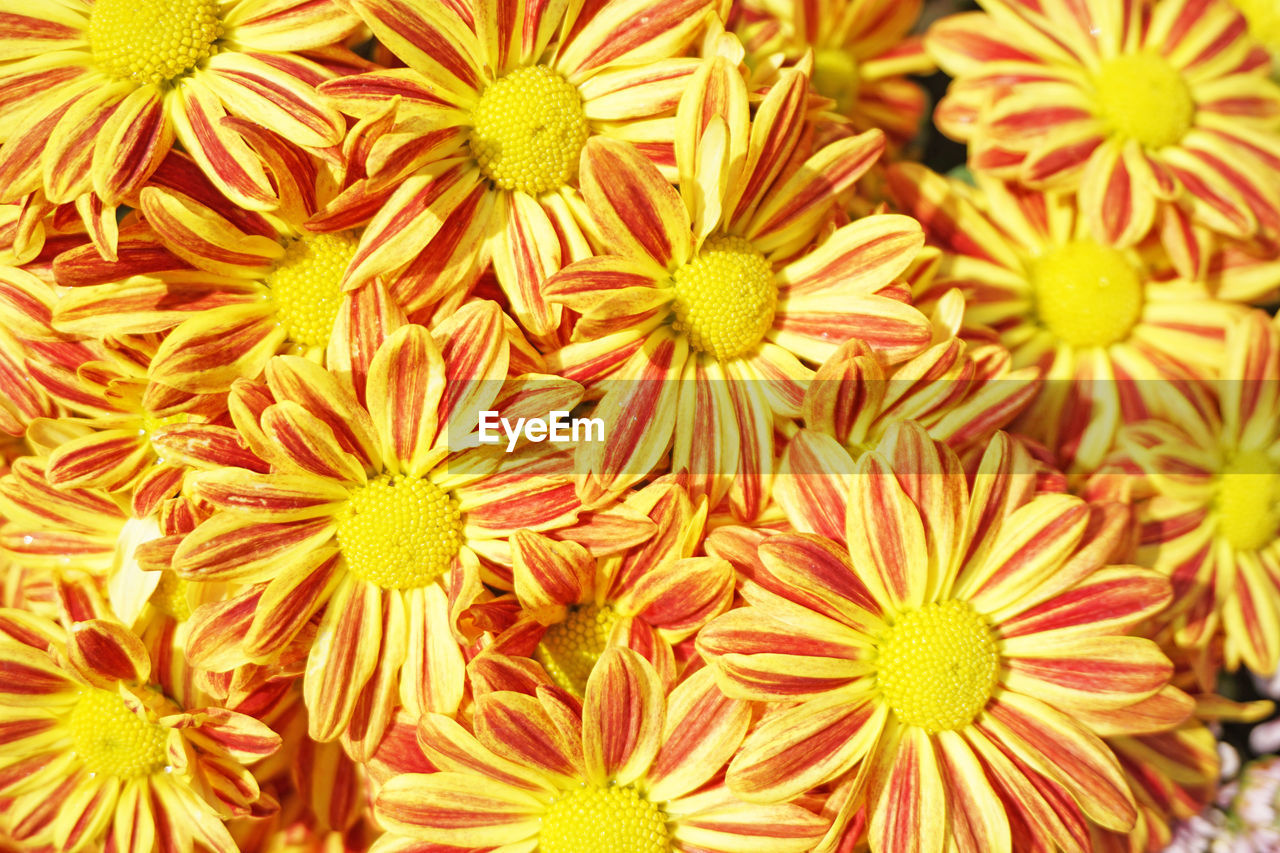 flower, flowering plant, close-up, backgrounds, freshness, full frame, plant, beauty in nature, flower head, vulnerability, fragility, inflorescence, petal, growth, yellow, no people, nature, day, pollen, natural pattern
