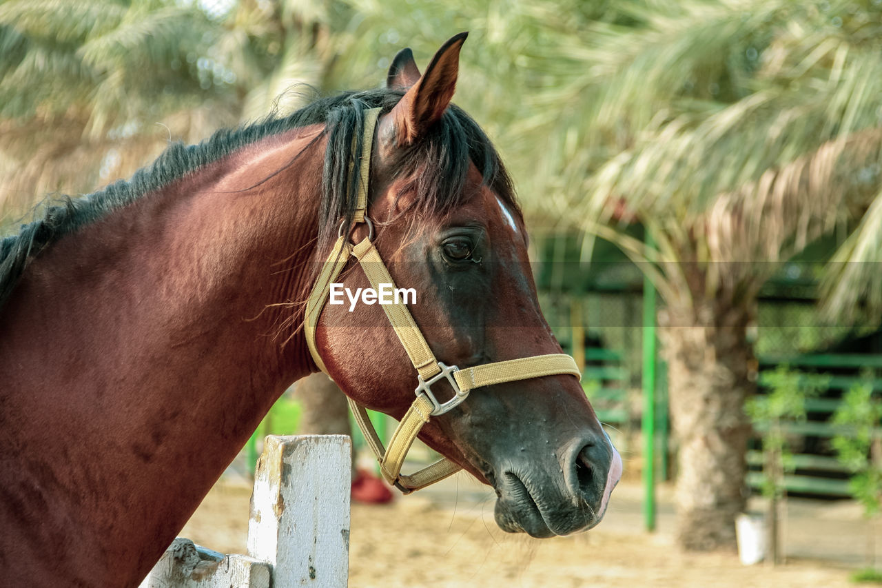 horse, livestock, domestic animals, domestic, mammal, animal themes, animal, animal wildlife, pets, vertebrate, one animal, bridle, herbivorous, focus on foreground, brown, working animal, day, no people, animal body part, nature, animal head, outdoors, ranch, profile view