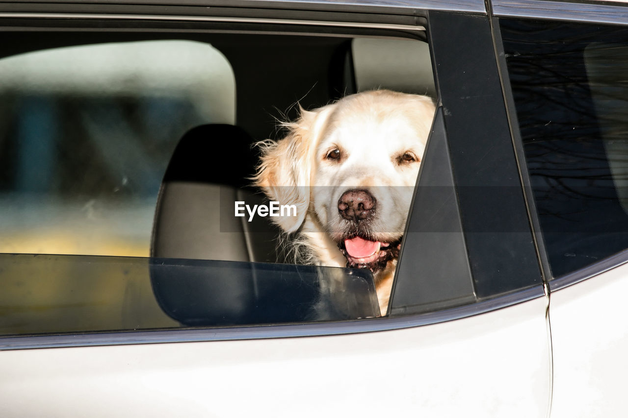Dog looking though window of car