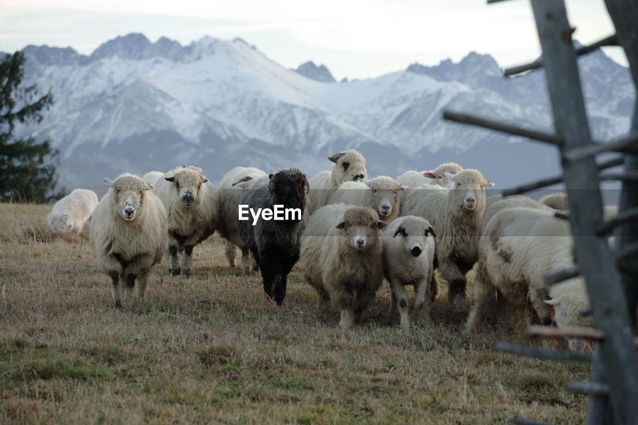 Sheep On Landscape Against Sky