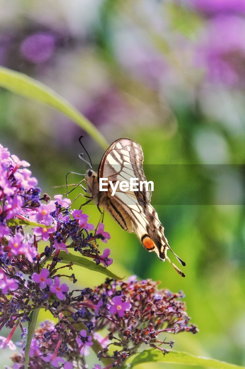 invertebrate, insect, animal wildlife, one animal, animal, animal themes, flower, animals in the wild, flowering plant, plant, beauty in nature, fragility, animal wing, vulnerability, butterfly - insect, close-up, freshness, pollination, growth, petal, flower head, no people, purple, outdoors, butterfly