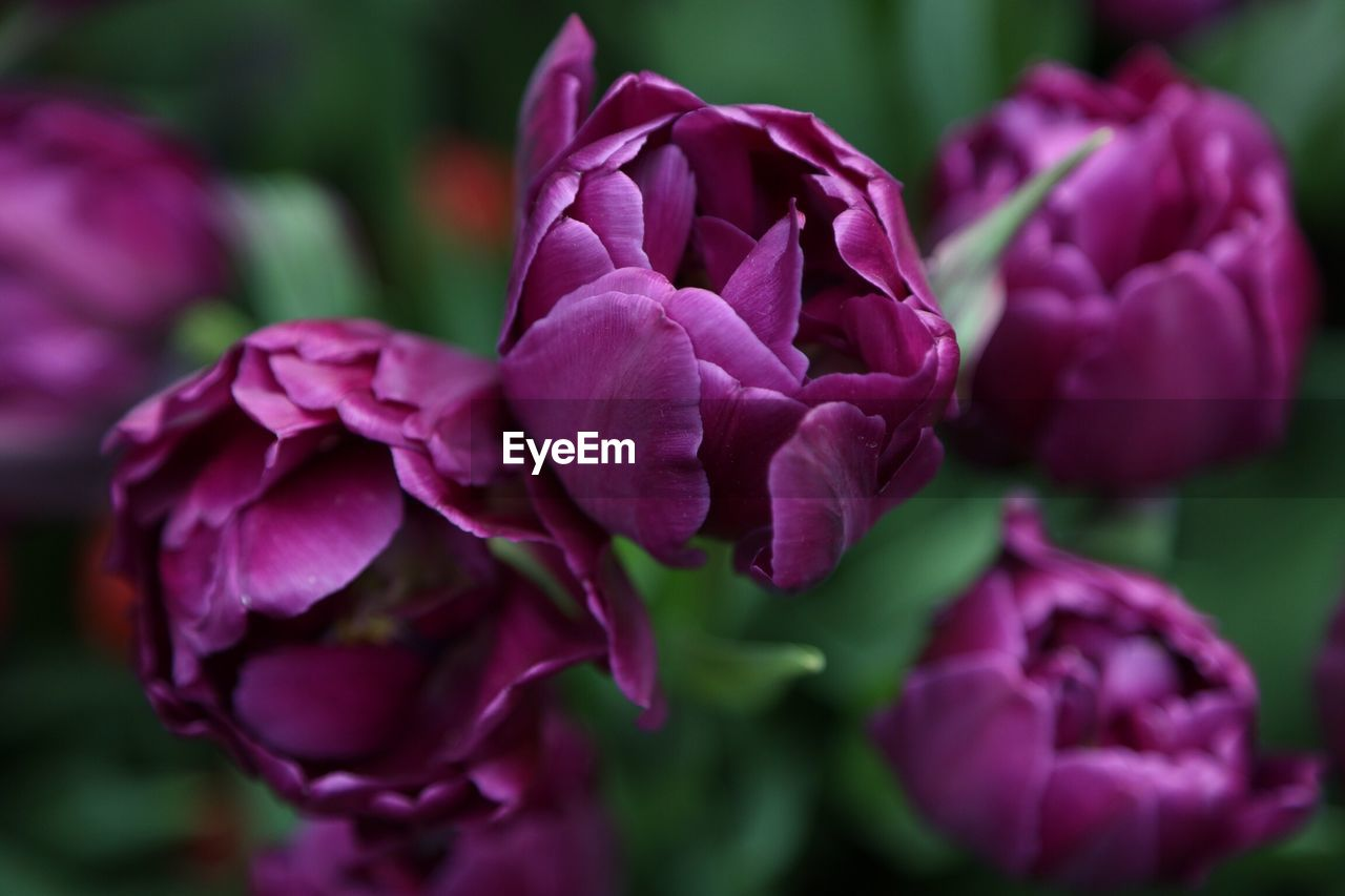 flower, petal, beauty in nature, fragility, nature, flower head, plant, growth, freshness, purple, no people, rose - flower, outdoors, close-up, pink color, blooming, day, hydrangea