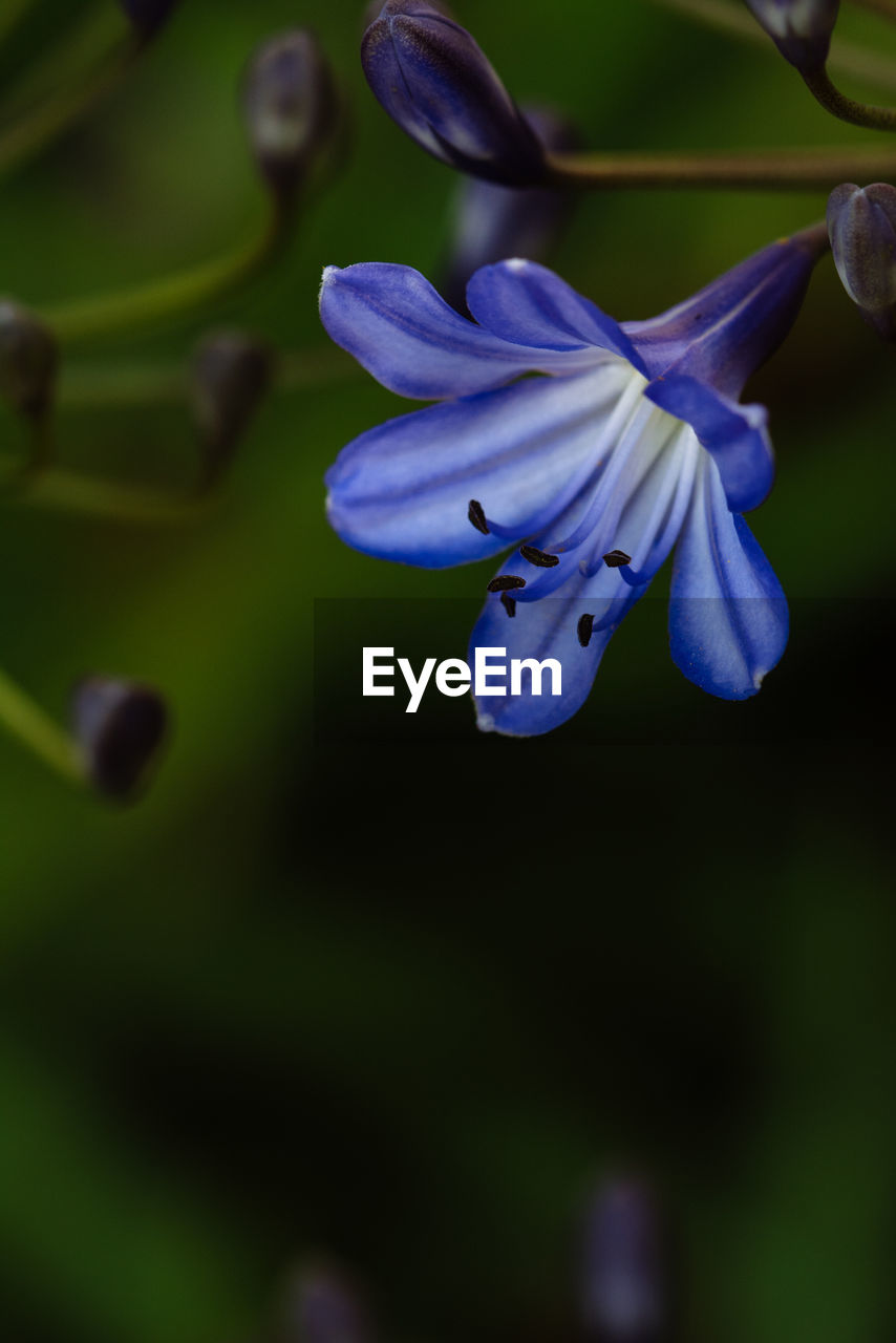 flower, flowering plant, vulnerability, fragility, plant, petal, freshness, beauty in nature, close-up, growth, flower head, inflorescence, no people, purple, nature, selective focus, focus on foreground, day, botany, outdoors, springtime