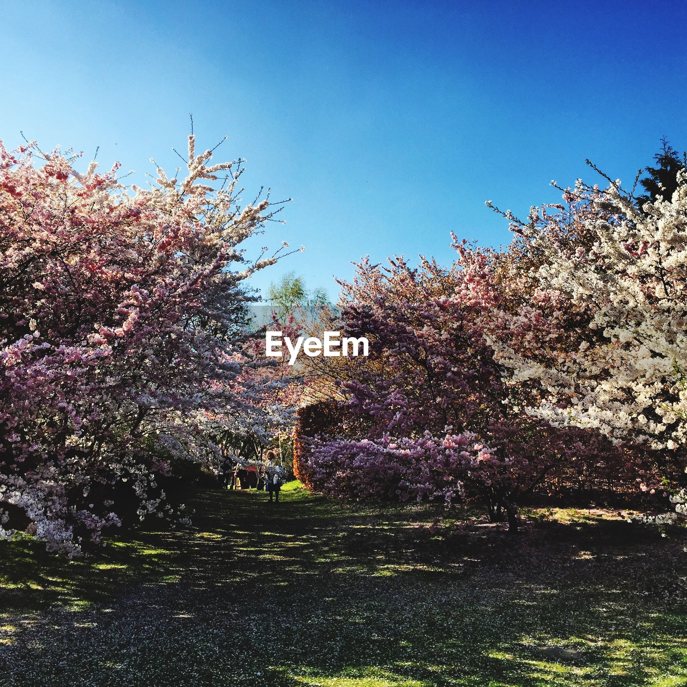 Cherry trees in park against clear blue sky