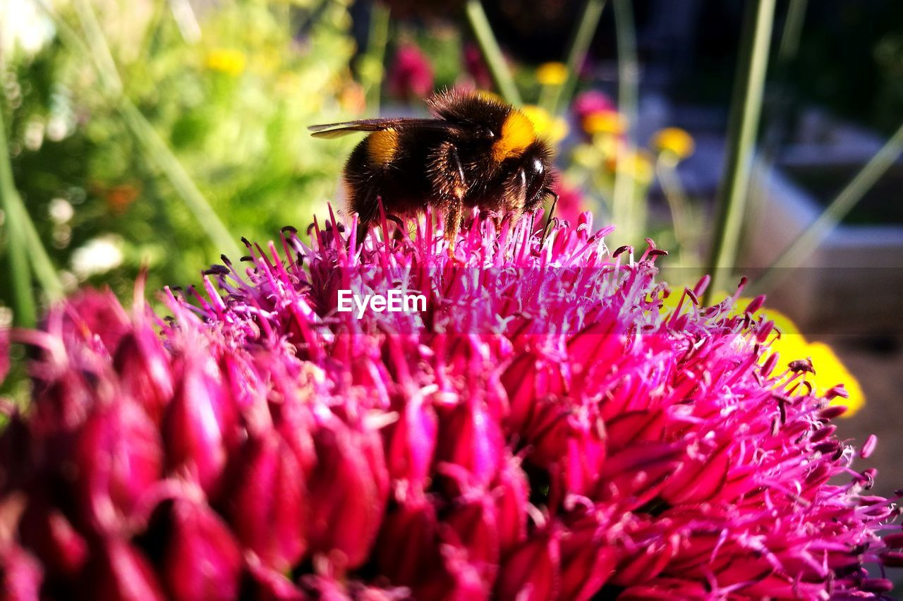flower, flowering plant, animal wildlife, animals in the wild, invertebrate, animal themes, beauty in nature, animal, insect, petal, vulnerability, fragility, flower head, one animal, freshness, growth, bee, plant, close-up, pollination, pink color, no people, outdoors, bumblebee, pollen, purple