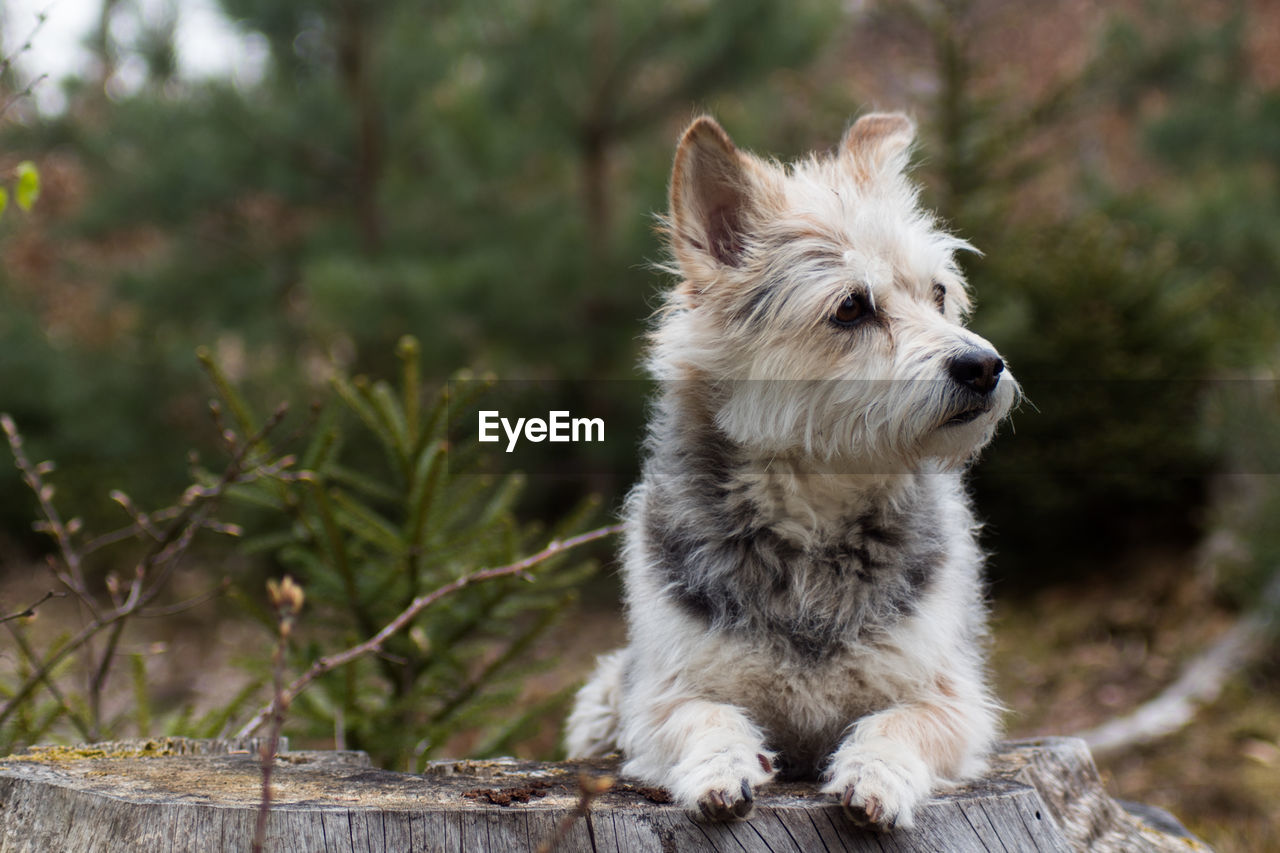 one animal, mammal, animal themes, domestic, dog, pets, canine, animal, domestic animals, vertebrate, focus on foreground, no people, plant, day, looking, looking away, nature, outdoors, tree, sitting, animal head