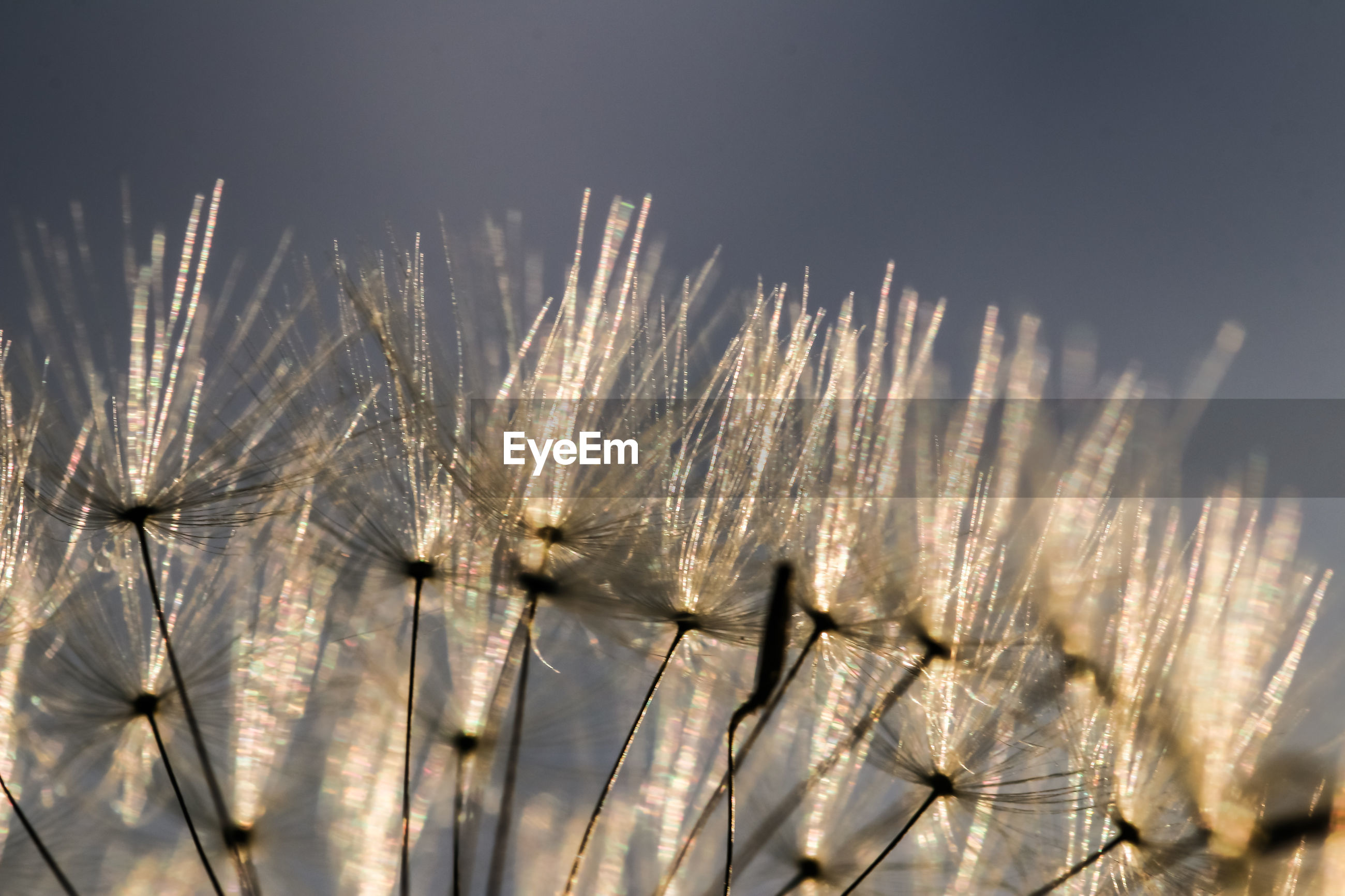 CLOSE-UP OF DANDELION AGAINST SKY ON FIELD