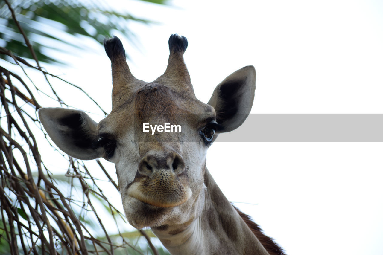 animal, animal themes, one animal, mammal, animal wildlife, animals in the wild, vertebrate, portrait, animal body part, looking at camera, no people, close-up, domestic animals, nature, animal head, sky, day, giraffe, low angle view, herbivorous, outdoors, snout, animal nose