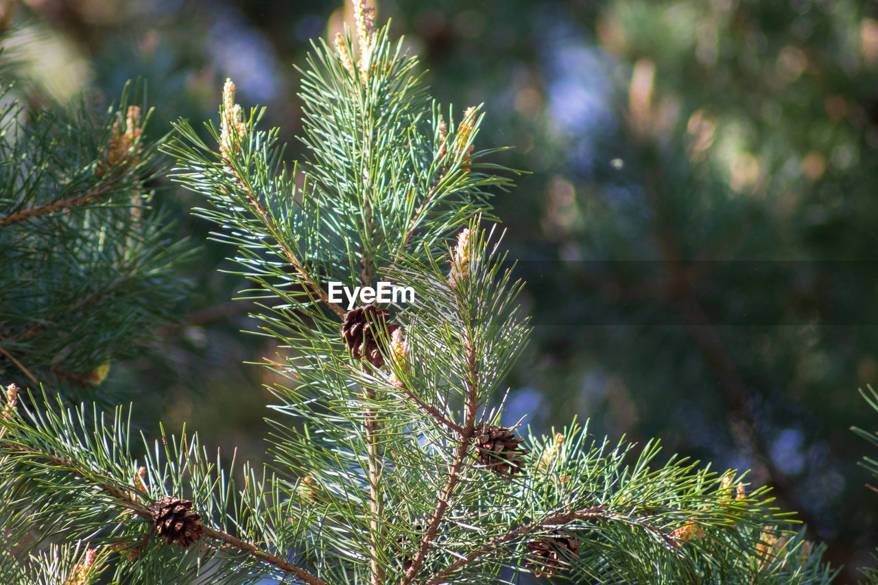 plant, growth, green color, tree, close-up, focus on foreground, no people, day, beauty in nature, pine tree, nature, leaf, coniferous tree, needle - plant part, branch, plant part, outdoors, tranquility, sunlight, green, fir tree, spiky