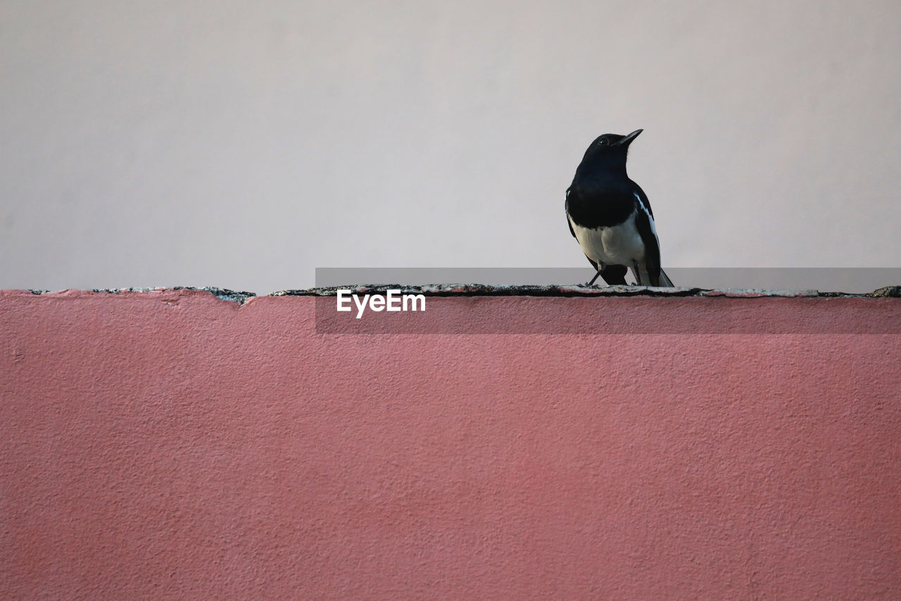 vertebrate, bird, animal wildlife, animals in the wild, one animal, perching, day, copy space, no people, wall - building feature, outdoors, wall, architecture, black color, full length, retaining wall, focus on foreground