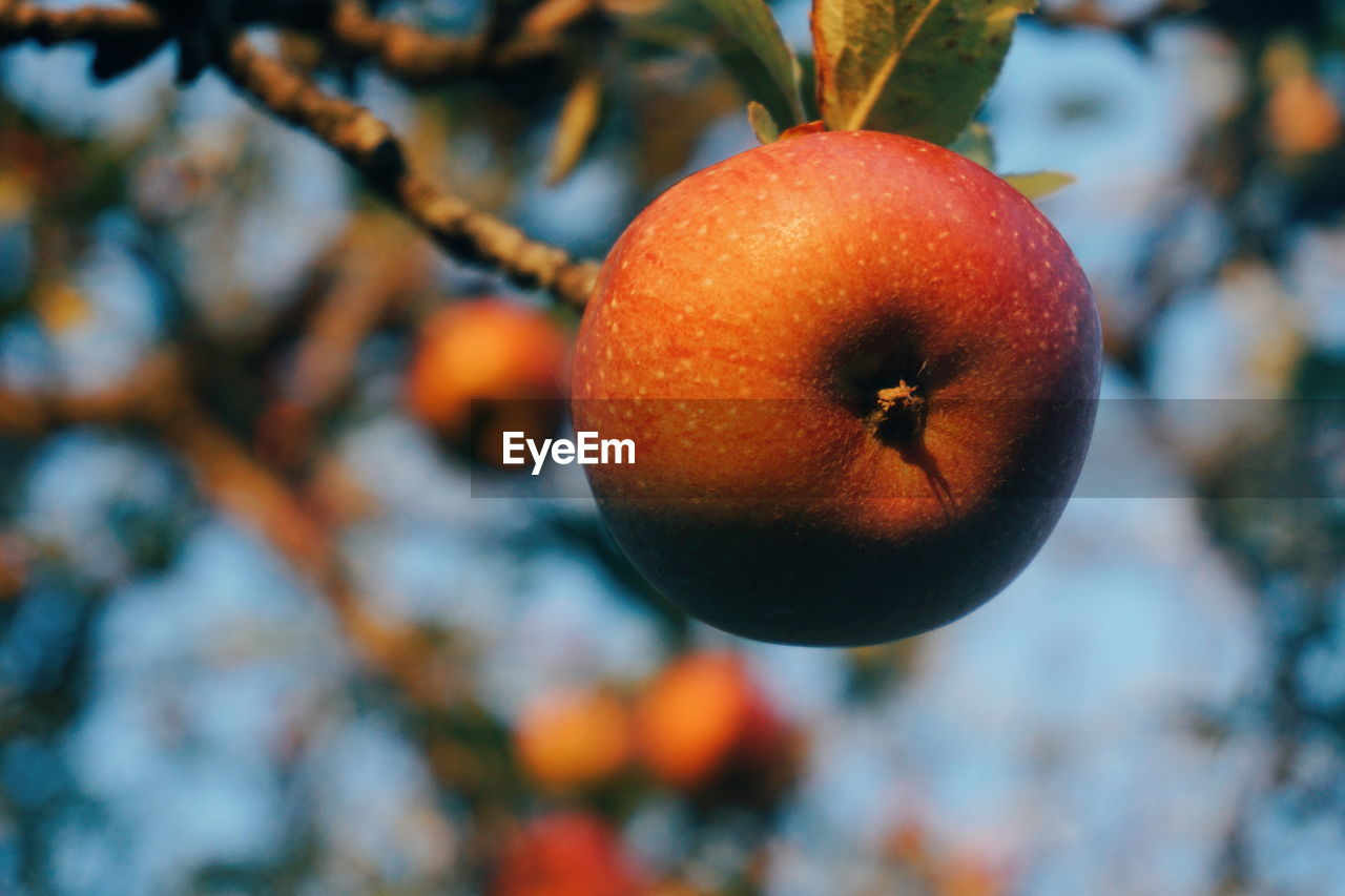 Low Angle View Of Apples Growing On Tree