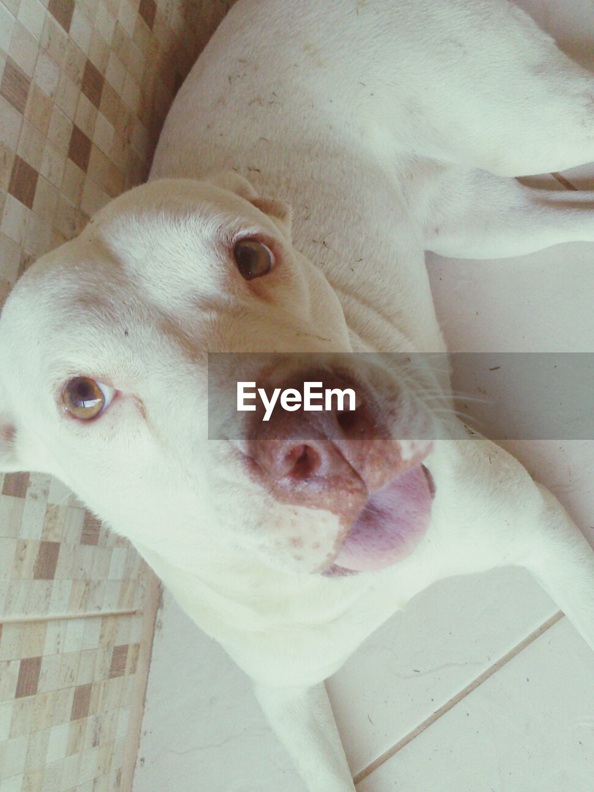 indoors, animal themes, dog, pets, domestic animals, one animal, mammal, close-up, portrait, looking at camera, high angle view, white color, animal head, relaxation, home interior, no people, lying down, cute, day, animal representation