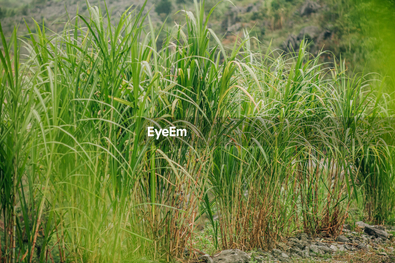 plant, green color, growth, land, field, nature, landscape, agriculture, grass, no people, rural scene, day, crop, beauty in nature, cereal plant, tranquility, outdoors, farm, food, scenics - nature