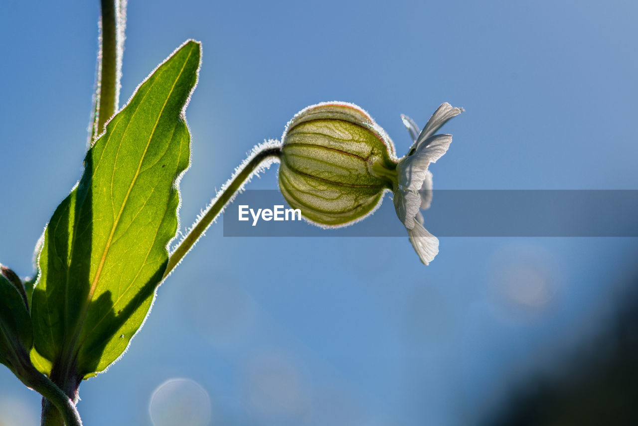 plant, plant part, leaf, growth, green color, nature, close-up, focus on foreground, beauty in nature, no people, sky, day, freshness, low angle view, blue, vulnerability, fragility, sunlight, beginnings, outdoors, sepal, leaves, flower