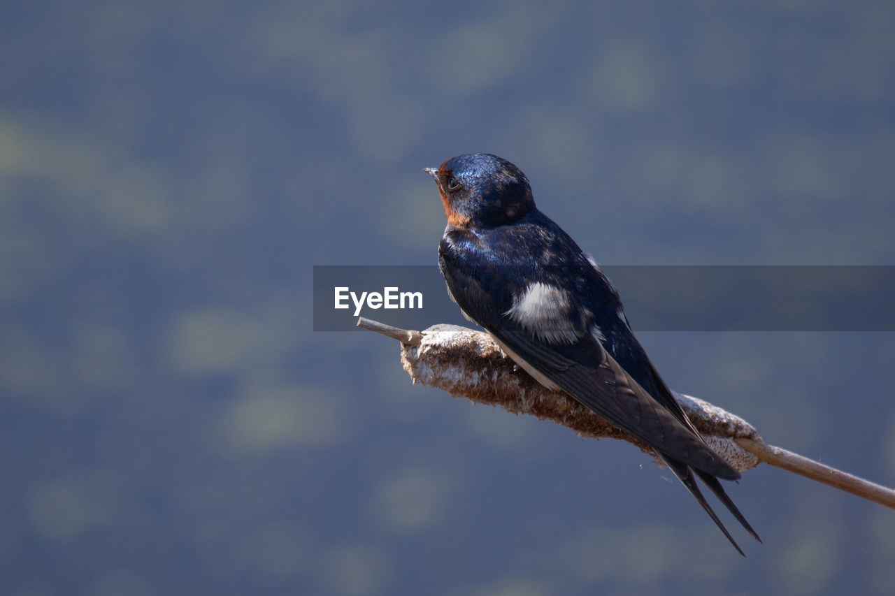 CLOSE-UP OF A BIRD PERCHING ON A BLURRED BACKGROUND