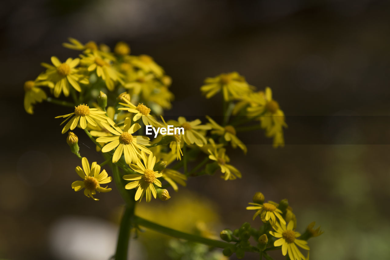 flower, flowering plant, plant, vulnerability, fragility, beauty in nature, freshness, growth, focus on foreground, yellow, close-up, flower head, petal, inflorescence, selective focus, nature, no people, day, outdoors, botany