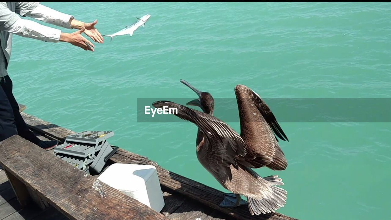Midsection Of Man Throwing Fish On Pelican At Pier