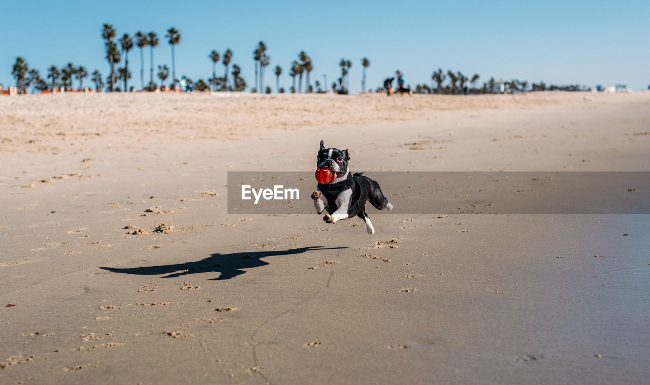 Dog carrying ball while running on shore at beach