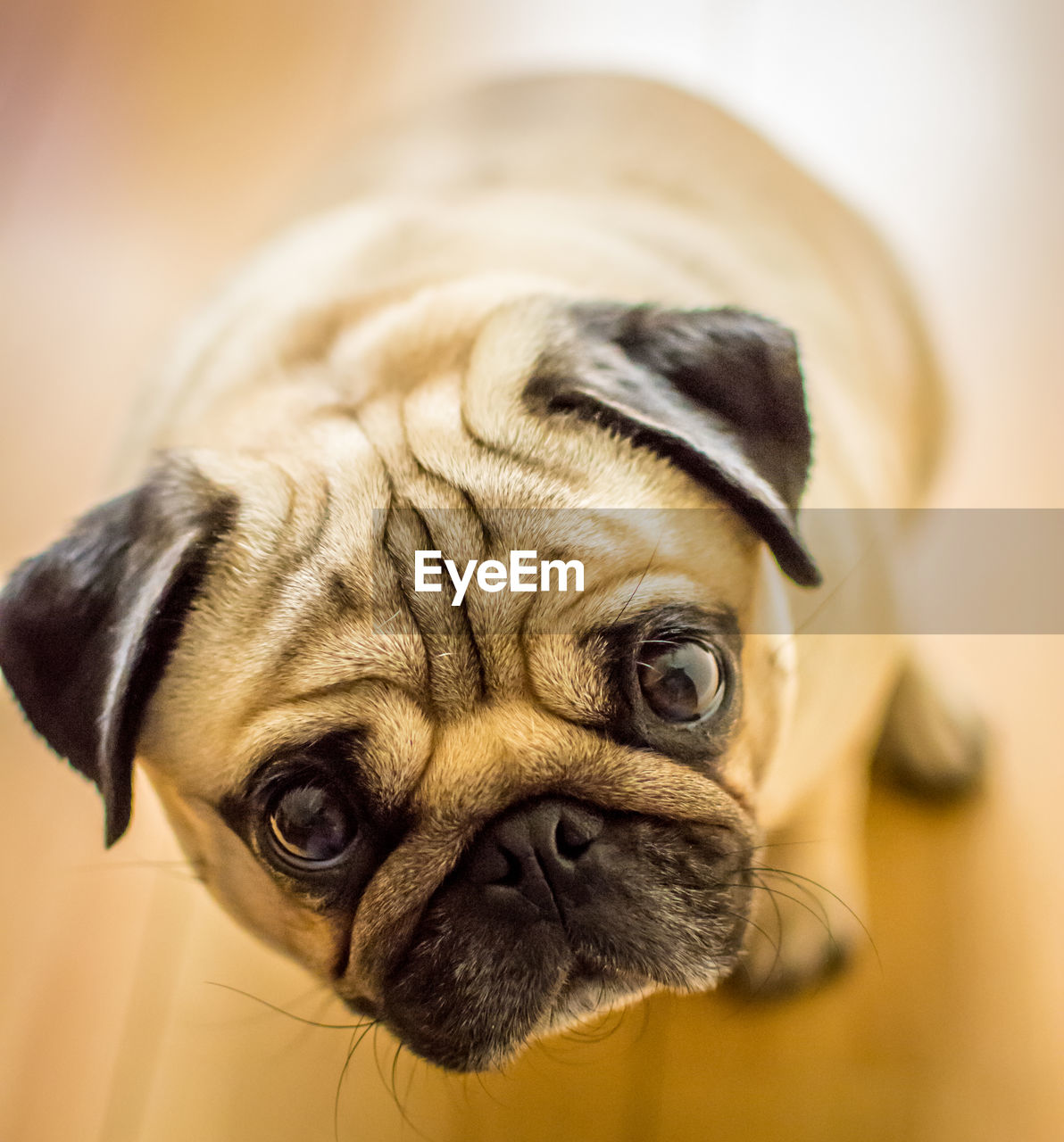 mammal, domestic animals, one animal, pets, domestic, animal themes, dog, canine, animal, vertebrate, pug, lap dog, indoors, close-up, portrait, no people, focus on foreground, small, animal body part, looking, animal head, animal eye