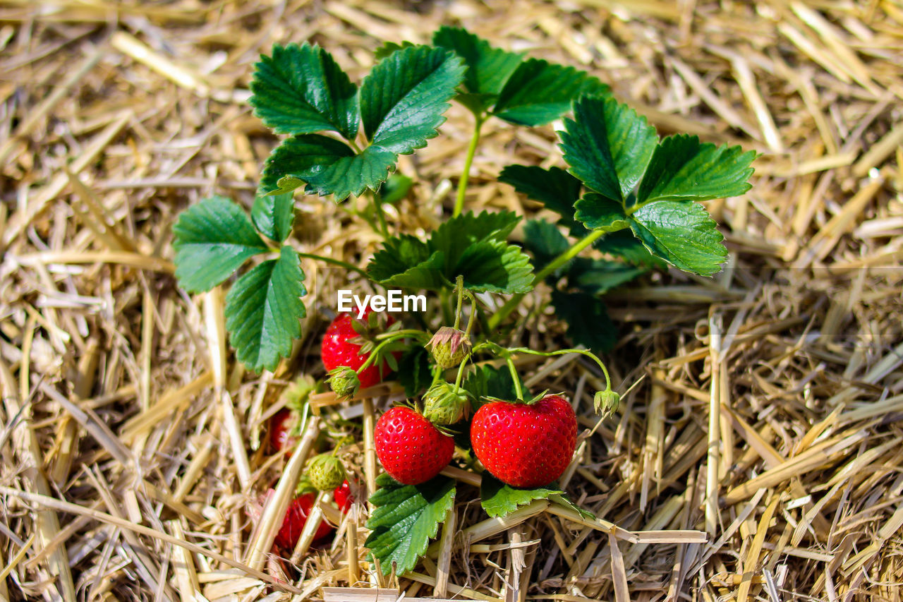 plant part, leaf, berry fruit, strawberry, fruit, food and drink, healthy eating, freshness, nature, green color, food, plant, growth, red, day, close-up, no people, field, wellbeing, land, outdoors, ripe