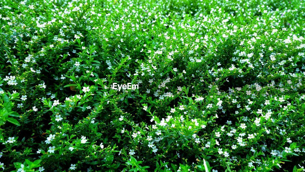 plant, green color, growth, beauty in nature, nature, no people, freshness, foliage, day, plant part, full frame, leaf, lush foliage, outdoors, backgrounds, tranquility, land, flowering plant, flower, botany