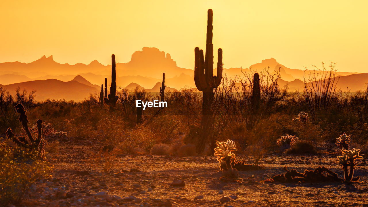 Saguaro cactus growing on field against clear sky during sunset